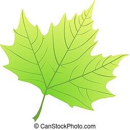 ), acerifolia, sycomore