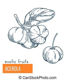Acerola. Hand drawn vector illustration