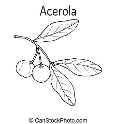 Acerola, or Barbados cherry, medicinal plant