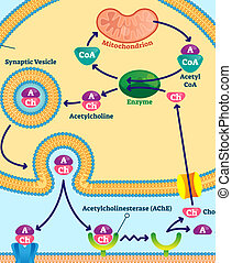 Acetylcholine vector illustration. Labeled scheme with...