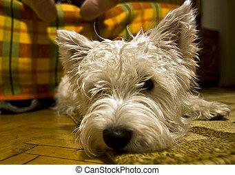 Achiles - A westie dog