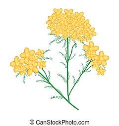 achillea, amarillo, milenrama, millefolium, flores, o