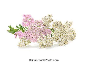 (achillea), bakgrund, isolerat, rölleka, vita blommar