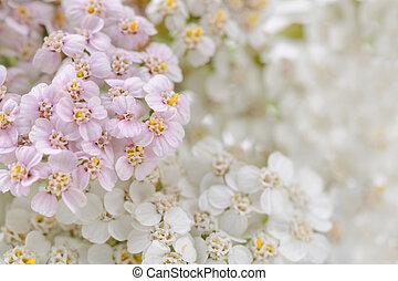 (achillea), blomningen, närbild, rölleka