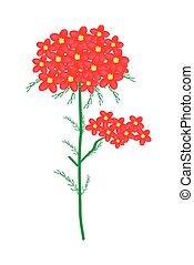 achillea, milenrama, millefolium, flores, o, rojo