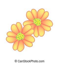 achillea, milenrama, naranja, millefolium, flores, o