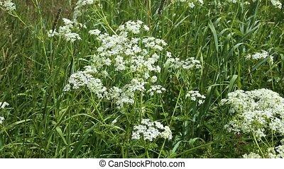Achillea millefolium or common yarrow. wild flowers in ...