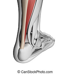 Achilles tendon - 3d rendered illustration of the achilles...