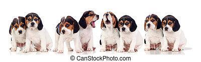 acht, schöne , beagle, hundebabys
