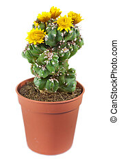 achtergrond., bloeiend, cactus, vrijstaand, witte