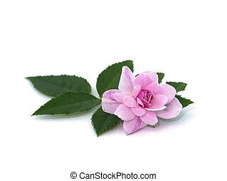 achtergrond., damast, bloem, roos, roze, bladeren, witte