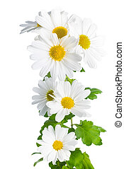 achtergrond, fris, vrijstaand, zoals, witte , chrysant, chamomiles