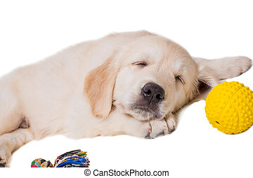 achtergrond, retriever, gouden, witte , puppy, vrijstaand