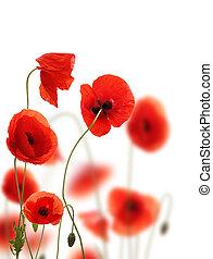 achtergrond, vrijstaand, akker, klaproos, witte bloemen