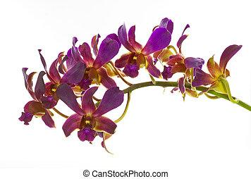 achtergrond, vrijstaand, bloem, orchidee, paarse , witte