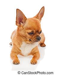 achtergrond., witte , chihuahua, dog, vrijstaand
