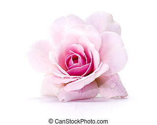 achtergrond., witte , roze bloem, roos, damast