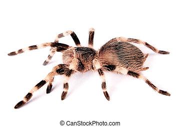 achtergrond., witte , spin, vrijstaand