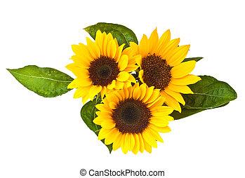 achtergrond., witte , vrijstaand, zonnebloemen