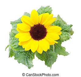 achtergrond., witte , zonnebloemen