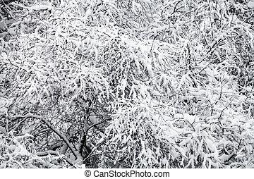 acima, vista, de, neve coberta, maçã, árvores, em, nevada