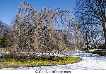 aconites, inverno