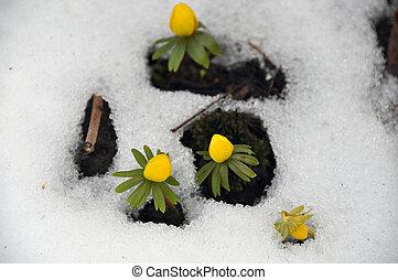 aconites, primavera, inverno