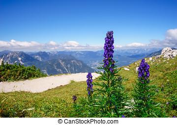 aconitum, montanhas, flores, napellus, contra