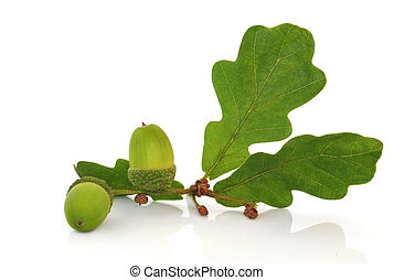 Acorn and Oak Leaf Sprig - Oak leaf sprig with acorns...