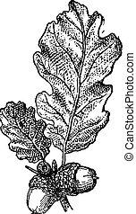 Acorn or Oak nut with leaves, vintage engraving.