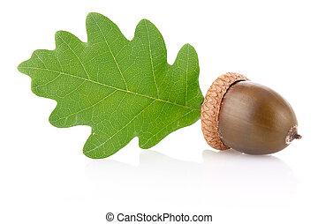 acorn with green leaf isolated on white background