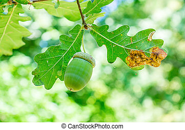Acorn with leaves