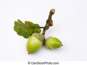 Acorns from an Oak tree, picked up in the park and shot on a...