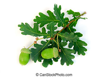 Oak branch with acorns on white background