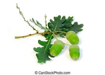 Acorns oak branch - Oak branch with acorns on white...