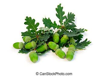 Acorns oak branches