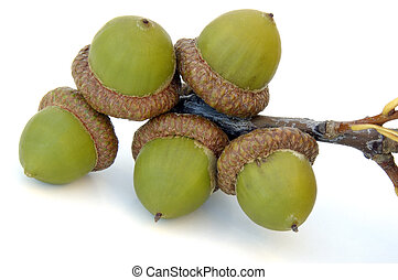 Acorns - Bunch of Acorns on a Twig