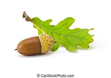 acorns - one acorn and oak leaf isolated on white background