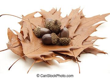 Acorns with autumn leaf