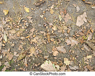 Acorns with leaves on the ground