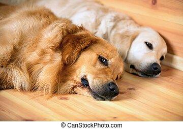 acostado, dos, perros, vista