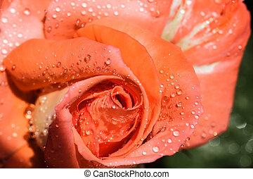acqua, goccioline, rosa colore rosa