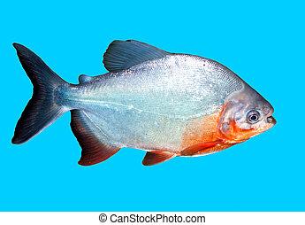 acqua, percorso, ritaglio, fish, piranha