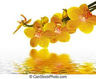 acqua, petali, riflettere, orchidea