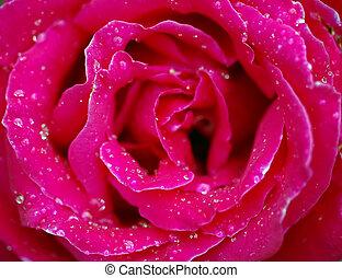 acqua, rose