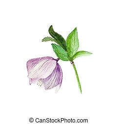 Helleborus illustrazioni e archivi artistici 67 for Elleboro bianco