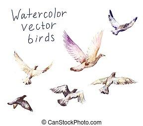 acquarello, piccioni