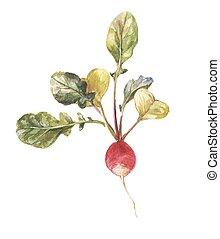 acquarello, ravanello, foglie, giardino, rotondo
