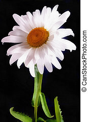 acquarello, schizzo, fiore, nero, margherita