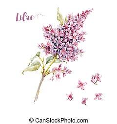 acquarello, vettore, fiore, lilla